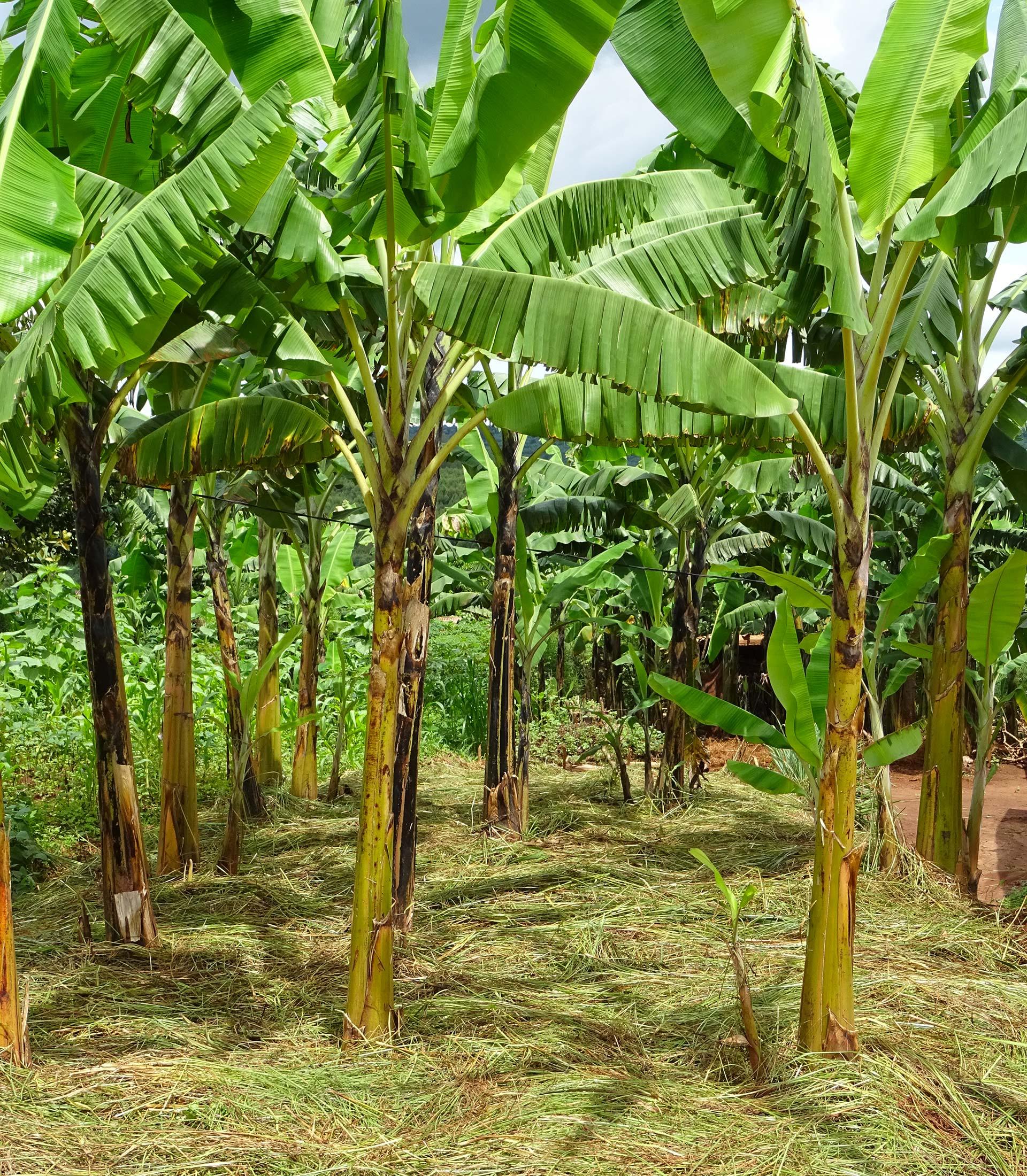 Palmiers paillées agroécologie