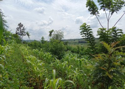 Photo de l'association de maïs, niébé, gluricidia, au fond arbre fertilisant