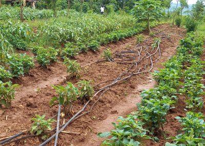 Photo d'un champ d'aubergines, amarantes, papayer